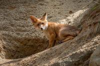 В Тюменской области поймали лисицу, заражённую бешенством