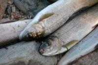 Рыбопромышленников убеждают переключить внимание с омуля и Байкала на другие объекты.