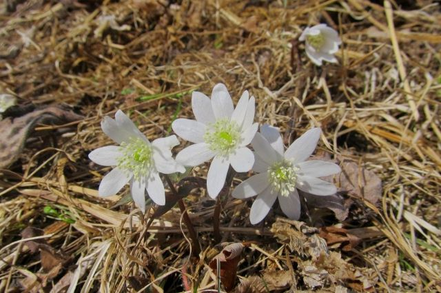 Алтай начал цвести