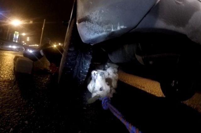 ВЯрославле спасли собаку, застрявшую вподвеске машины после ДТП
