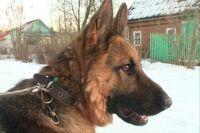 У жителя села Панфилово украли кавказскую овчарку.