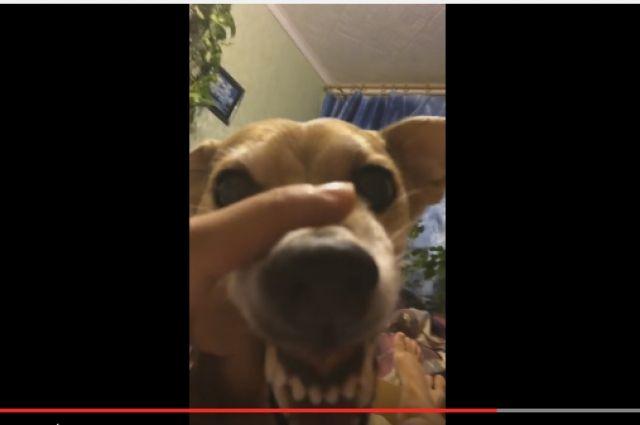 «Ля-ля пёс» изБелгорода стал звездой интернета