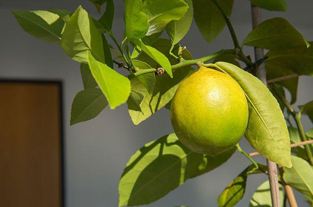 «Принц Лимон». Советы по выращиванию цитруса на подоконнике