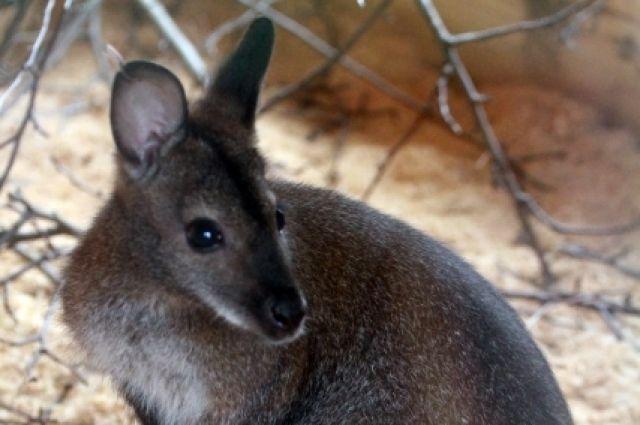 Самка кенгуру не пускает своего детеныша в сумку.