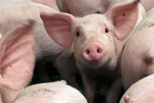 558 свиней изъяли у граждан Иркутского района из-за африканской чумы