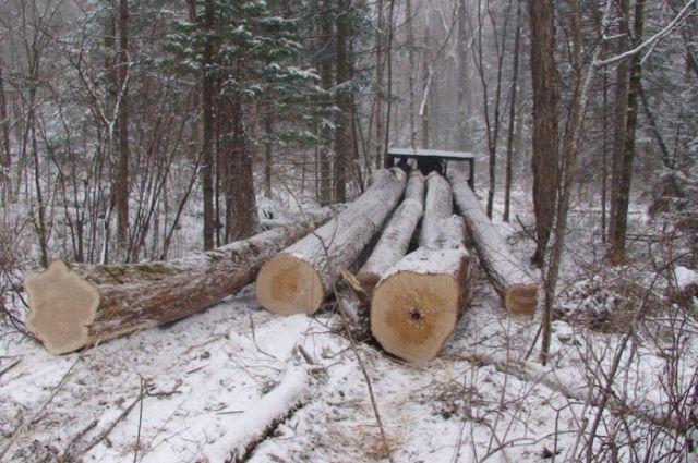 Дорожники нелегально вырубили втюменском лесу березки иосины