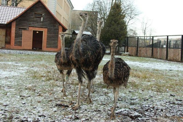В зоопарке Калининграда на виду у посетителей умер молодой страус.