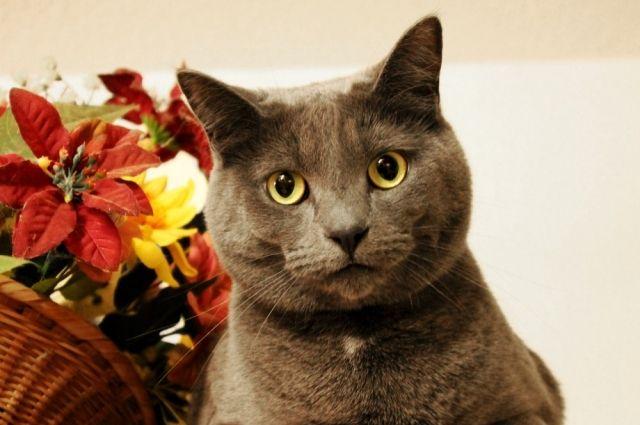 Если кошка пытается грызть цветы, отвлечь её от этого занятия можно, предложив пророщенный овёс.