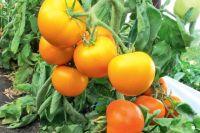 Сорт «Золотая тёща» уже оценили многие садоводы.