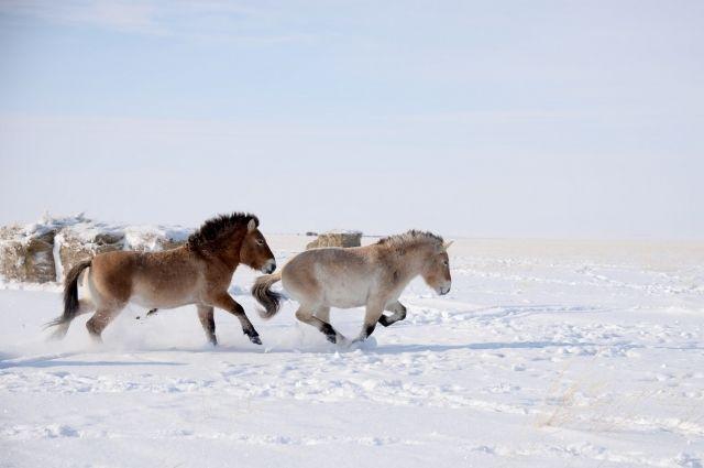 Привольно лошадям Пржевальского в оренбургских степях!
