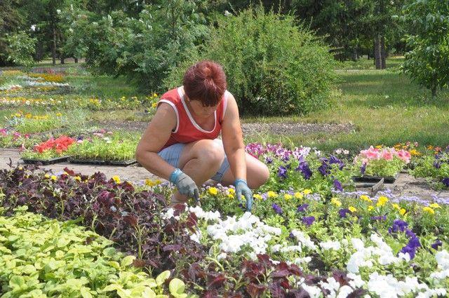 Скоро в Новосибирске взойдут высаженные осенью тюльпаны