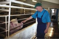 Корма для свиней лучше покупать у местных предприятий.