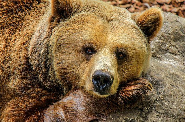 Медведи ведут себя спокойно.