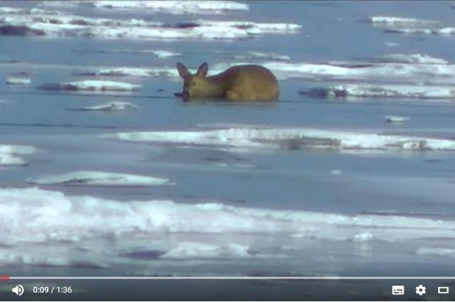 Сначала косуля показалась темным пятном на льду Байкала.