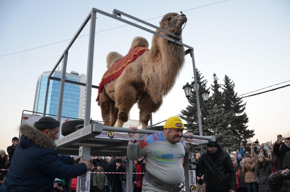 Март 2015.  Верблюд Вася помог Эльбрусу Нигматуллину подарить челябинцам незабываемое шоу: животное смирно стояло на платформе, которую поднимал силач. Общий вес груза составил 1030 кг, а продержать его стронгмен смог 45 секунд.