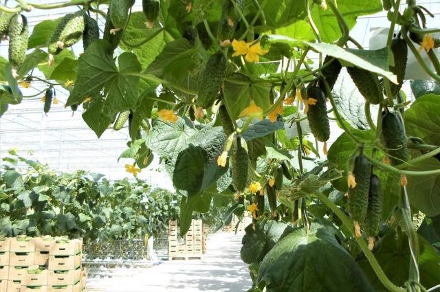 Тепличный агрокомплекс в Ессентуках привлекает внимание экологичным способом обороны растений.