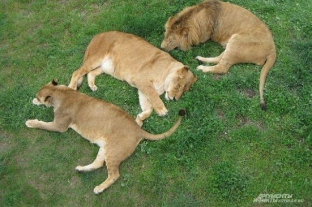 Обитатели парка львов «Тайган»