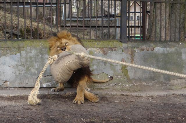 В зоопарке Калининграда появился тренажерный зал для хищников.