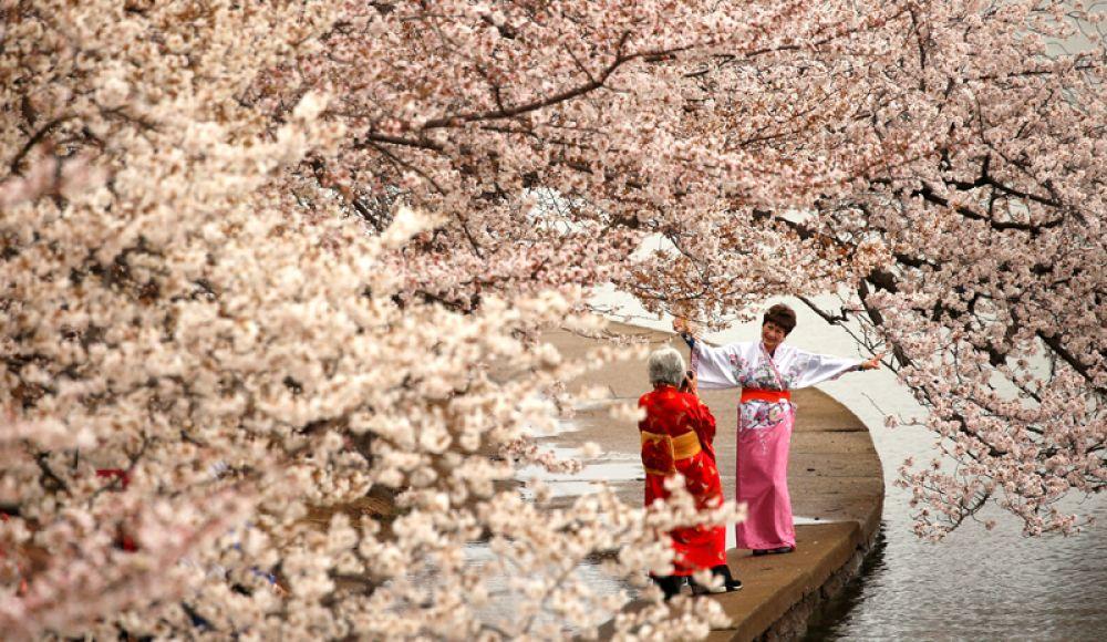 27 марта. Женщины в кимоно фотографируются под цветущей сакурой в Вашингтоне, США.