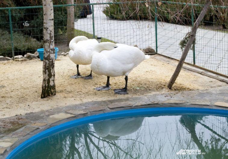 Отдыхают лебеди, сворачиваясь «плюшкой» .