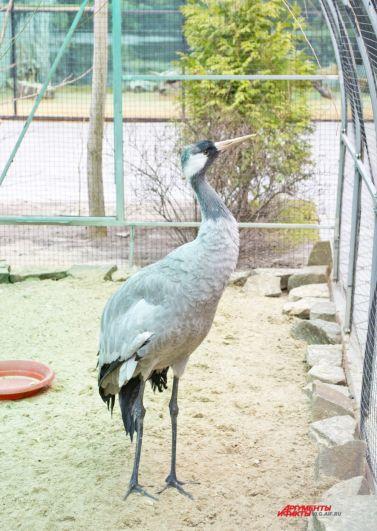 Серый журавль - один из самых крупных пернатых в зоопарке.