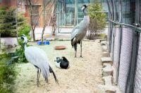 Серый журавль, журавль-красавка и белощекая казарка живут в одном вольере.