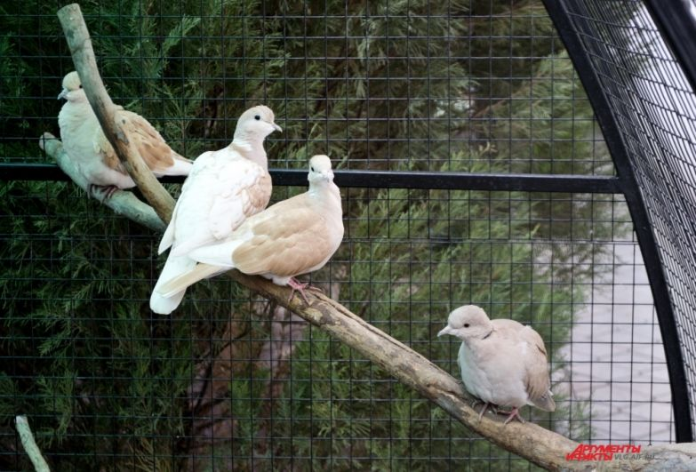 Горлицы всегда держатся вместе и в основном время проводят на ветках деревьев.