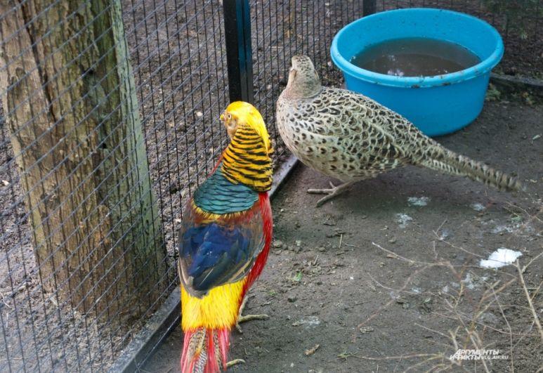 Золотой фазан (слева) -  потомок первого обитателя зоосада. Яркая птица родом из Китая.