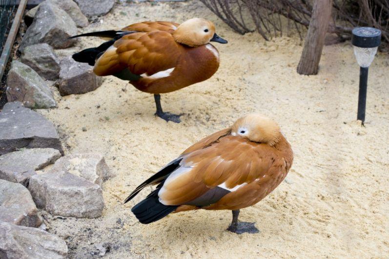Огари Ассоль и Грей родом с берегов озера Иссык-Куль. Этих птиц также называют красными или земляными утками.