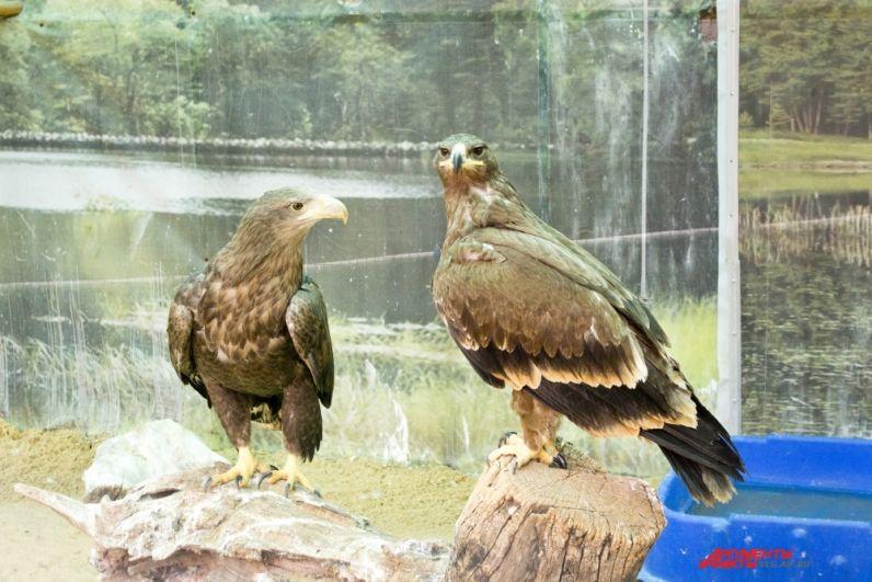 Орлан-белохвост (слева)  и его сосед по вольеру степной орел Пшигиш любят позировать на камеру, принимая важный вид. А еще любят прятаться под крышей вольера.