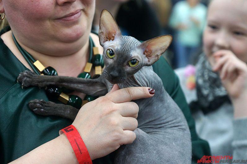 Иногда хозяева достают кошек и выставляют их перед публикой напоказ.