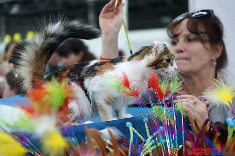 Выставки кошек на территории Пермской ярмарки всегда привлекают внимание пермяков.