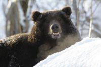 В Губкинском очевидцы сняли, как мужчина пытается сесть верхом на медведя.
