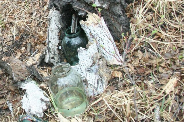 Добыча и заготовка ценного лесного продукта пущена на самотёк.