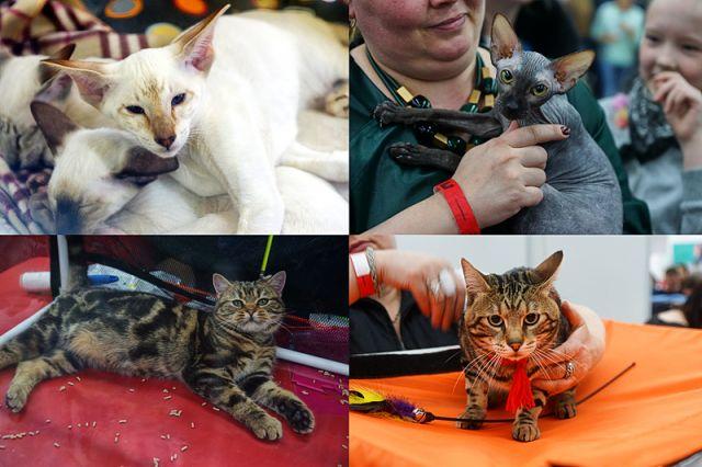 На сегодняшний день официально признаны и зарегистрированы около сотни кошачьих пород, а их разновидностей – более 700.