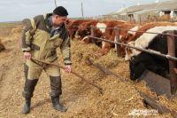 В селе Новый Егорлык выращивают отечественных коров.