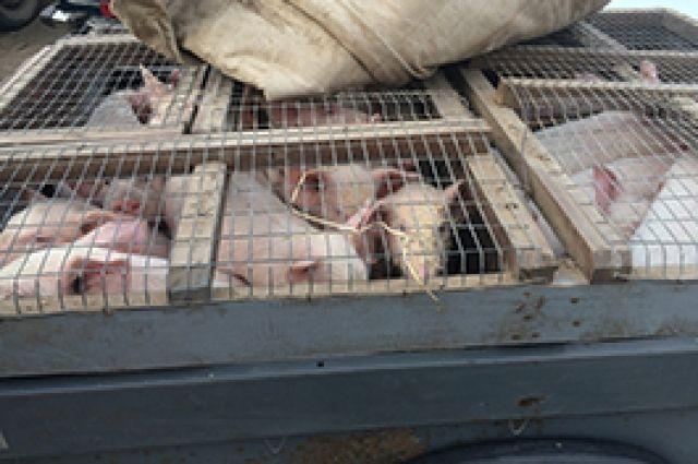Животные, которых перевозили без сопроводительного документа, были изъяты. Их поместили на карантин.