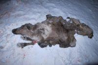 В Надымском районе местному жителю за убийство оленей может грозить тюремный срок.