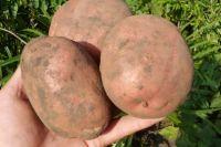 Картофель Ирбитский.