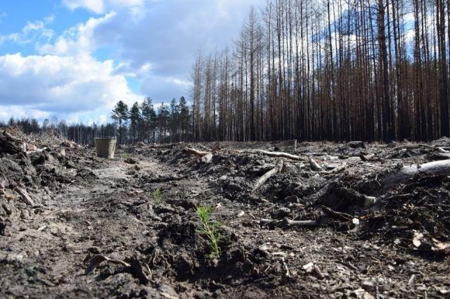 В Чернобыле высадят более 1,5 млн деревьев в 2017 году