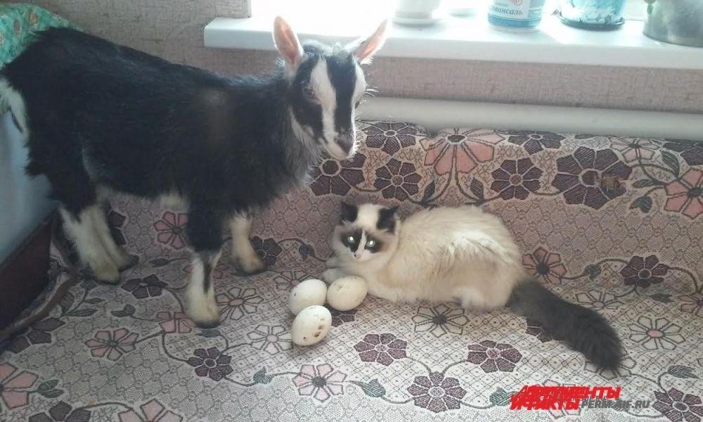 Участник № 18. Мои любимцы: Козочка «СИМА» и котенок «Сима»