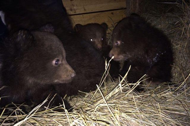 Медведицу убили охотники за медвежьей желчью, а малыши выжили.