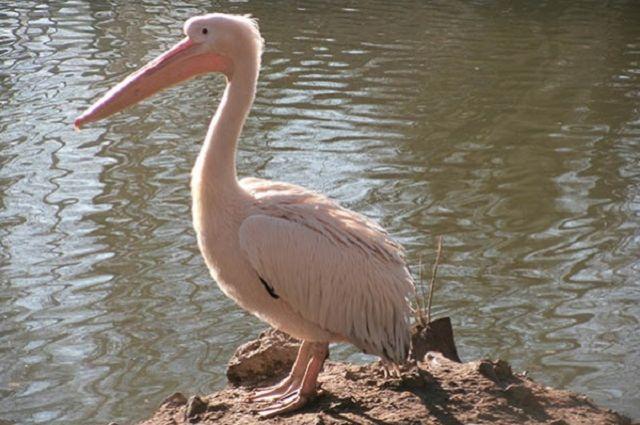 Розовый пеликан принимает солнечные ванны.