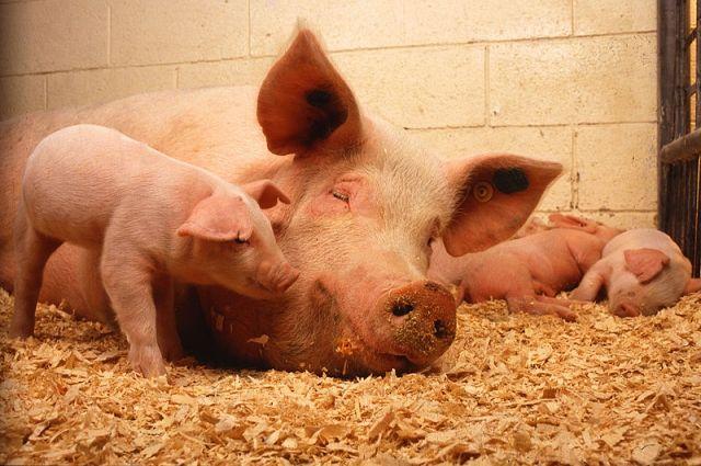 В13 областях Украинского государства ввели карантин из-за свиней