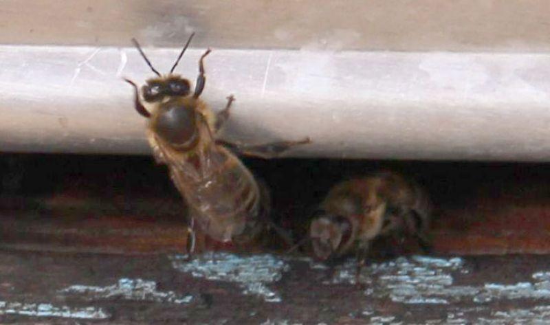 И еще работники - пчёлы.