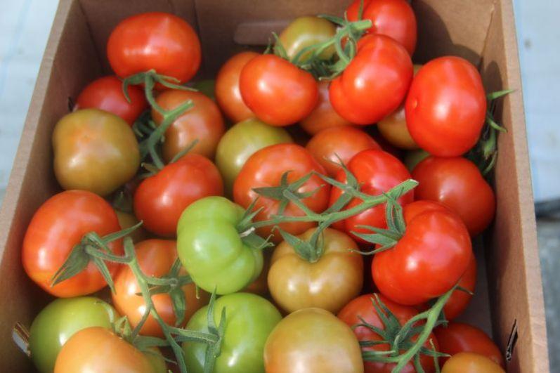 Первый урожай томатов снимают в третьей декаде марта.