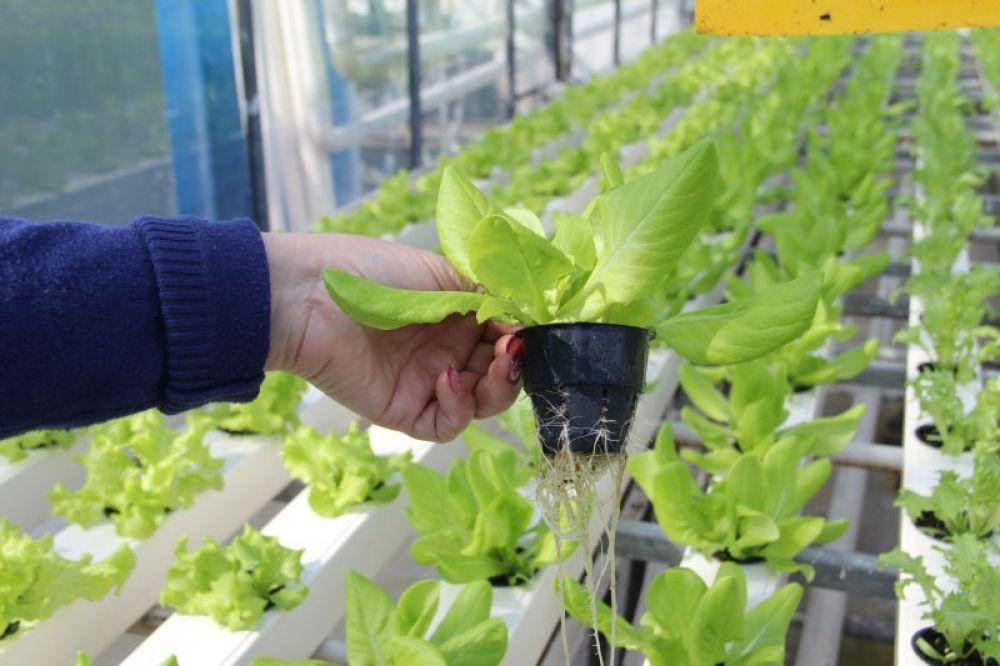 Листья салата - незаменимые весенние витамины.