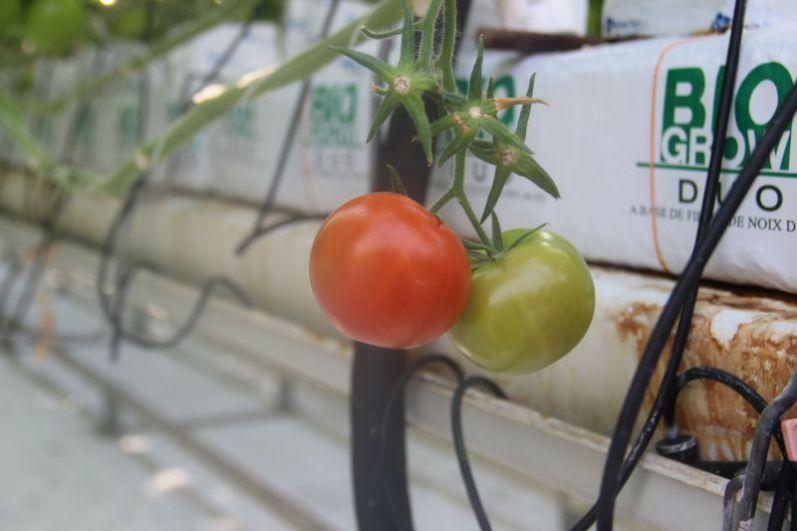 А это местные томаты.