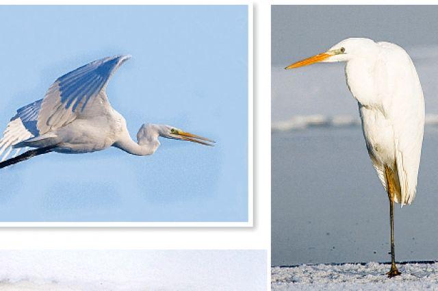 Белые цапли ежегодно прилетают в Омск.