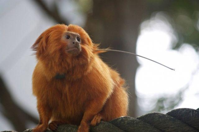 ВНовосибирском зоопарке родились редчайшие обезьянки